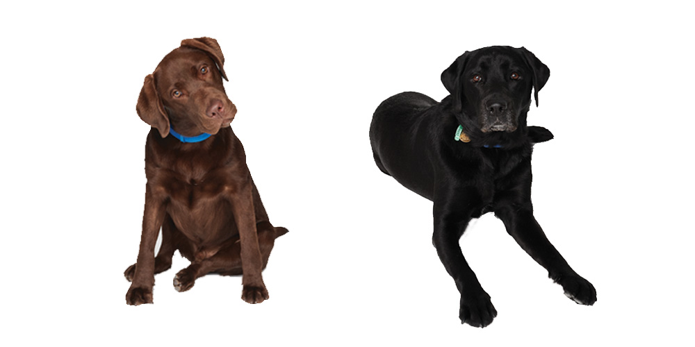 Brown Labrador puppy and Black Labrador